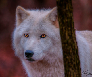 Arctic Wolf Head Shot HDR