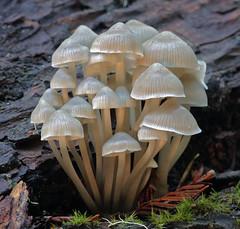 Mycena abramsii (Ron Wolf) Tags: california macro nature mushroom fungi fungus santacruzmountains bigbasinredwoodsstatepark mycenaabramsii mycenaceae
