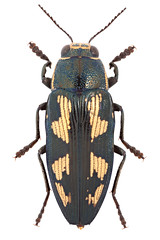 Buprestis novemmaculata Linnaeus, 1767  (Nikola Rahme) Tags: animal animals bug insect beetle insects bugs beetles arthropods animalia arthropoda arthropod coleoptera insecta buprestidae buprestid polyphaga buprestis metallicwoodboringbeetle metallicwoodboringbee