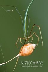 Twig-Like Whip Spider (Ariamnes sp.) - DSC_7702 (nickybay) Tags: macro spider singapore eggsac theridiidae admiraltypark ariamnes twiglike