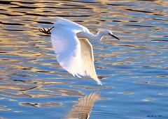watercolor reflection (William A. LaCrosse III ~ lonewolv) Tags: nature northerncalifornia wings snowyegret flickraward sanfransiscobayarea dragonsdanger birdsifflight williamalacrosseiii