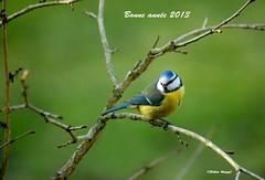 Tous mes voeux à toutes et à tous !!! (didier95) Tags: oiseau mesange mfcc thegalaxy voeux2013 bonneannée2013