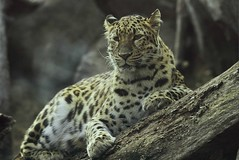 """A Thoughtful Moment"" (Wolverine09J) Tags: minnesota soe bigcats amurleopard thegalaxy endangeredwildlife mygearandme1 cherishyourdreamsandvisions naturespotofgoldlevel1 chariotsofartistslevel1 chariotsofartistslevel2 level1autofocus chariotsofnaturelevel3 chariotsofnaturelevel1 chariotsofnaturelevel5 chariotsofnaturelevel2 chariotsofnaturelevel4 sjohnsonsfaunahighqualityimagesonly"