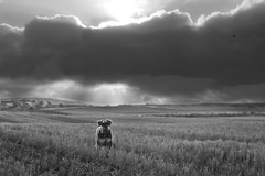 1 of 365 - Jack (linlaw39) Tags: winter light sky blackandwhite bw dog oneaday weather animal clouds puppy jack scotland countryside blackwhite aberdeenshire day1 365 stormysky puppydog fraserburgh lindal minatureschnauzer project365 2013 365project day1365 week1theme january2013 3652013 2013yip canonpowershotsx260hs 01012013 01jan13 365the2013edition