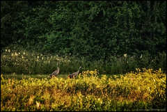 Tranor (Jonas Thomn) Tags: flowers trees tree bird field grass birds forest couple crane cranes linda skog blommor par trd ker fglar fgel grs tranor trana