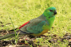 Red-rumped Beauty (aussiegypsy_offline outback) Tags: green bird nature grass outdoors colorful bright south australian feathers parrot australia colourful aussie grassland detailed plumage birdlife yorkepeninsula redbacked moonta mediumsize psephotushaematonotus redrump seedeater redrumped