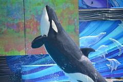 (Megakillerwhales) Tags: ocean dolphin dolphins whale whales orca oceans corky seaworld orkid killerwhale orcas killerwhales nakai seaworldsandiego keet shouka kalia orcawhales cetaceans cetacean ulises ikaika orcawhale corky2 oneocean kasatka nalanidreamer megakillerwhales orkied