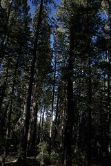Into The Forest (Reptilian_Sandwich) Tags: wild summer sky brown mountains newmexico green up walking outdoors solitude shadows hiking solidarity crown tall eveninglight conifer oldgrowth blackrange mimbreslake