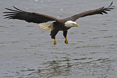 IMG_8592 (Lisa Rundell) Tags: bird nature animals river baldeagle iowa raptor mississippiriver eagles leclaire ld14