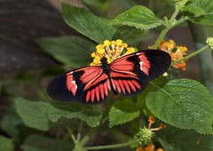 Helliconia  hybrid (creaturesnapper) Tags: world butterflies lepidoptera hybrid captive nymphalidae heliconiinae