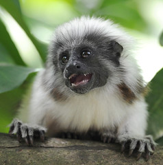 Hi! (jani.na) Tags: zoo monkey singapore small gettingclose cottontoptamarin roamingfree saguinusoedipus