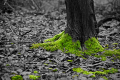Moss (Future-Echoes) Tags: tree green leaves woodland moss woods dof depthoffield selectivecolour sparkeywood