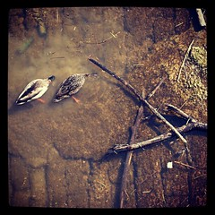 Dner aux chandelles (L'imaGiraphe (en travaux)) Tags: winter france animal mobile river square duck couple outdoor eating hiver under 71 squareformat mobilephone vase effect bourgogne extrieur canard fleuve repas filtre effet sane chalonsursane endessous formatcarr iphoneography instagram instagramapp xproii uploaded:by=instagram