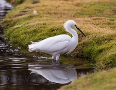 Snowy Egret (Egretta thula) (ausmc_1) Tags: november arizona bird yuma 2012 cocopah highqualityanimals