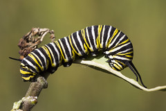 Monarch Caterpillar (Cliff_Collings) Tags: macro nature animal closeup canon insect wildlife alabama 100mm caterpillar milkweed gulfcoast butterflyweed 550d t2i coth5