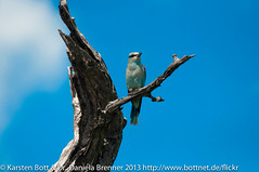 "European Roller • <a style=""font-size:0.8em;"" href=""http://www.flickr.com/photos/56545707@N05/8416682409/"" target=""_blank"">View on Flickr</a>"