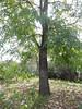 Riparian tree