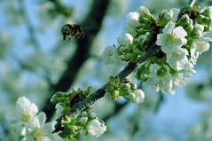 (Lucie Guinjard) Tags: tree green nature bee abeille