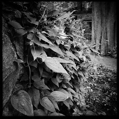 Stone Wall and Shinny Window (Firery Broome) Tags: wall stone stonewall flowers vine floweringvine leaves rain raindrops water waterdrops path brick tree treebark buildingwindows stonework windows reflections sunlight cellphone phonephoto iphone iphone5s app hipstamatic janelens blackeyssupergrainfilm square blackandwhite blackwhite bw monochrome blackandwhitelandscape landscape nature earthnature iphoneography phoneography iphonenature windowwednesdays newwallwednesday longwood longwoodgardens kennettsquare pennsylvania blackandwhitenature squarenature garden everydayobject 365