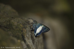 Hasora discolor (?) (Hiro Takenouchi) Tags: insect butterfly butterflies papua nature hesperiidae indonesia