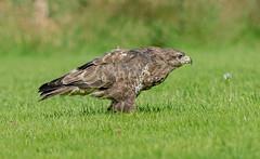 DSC7022  Buzzard.. (jefflack Wildlife&Nature) Tags: commonbuzzard buzzard birds avian wildlife wildbirds woodlands moorland heathland farmland countryside raptors birdsofprey nature