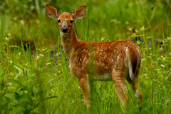 White Tail Fawn (patrickhale7173) Tags: whitetail wildlife arkansas animal young deer outdoor wild field