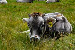 Baby calf (ginevrachini) Tags: cow mucca alps grass green animal wild mountain photography trentino altoadige italy italia southtirol berg calf cute little baby