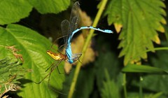 Captured Damselfly 260616 (3) (Richard Collier - Wildlife and Travel Photography) Tags: insects spiders captured
