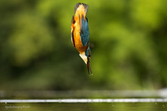 The Dive (Ross Forsyth - tigerfastimagery) Tags: kingfisher fishing diving emerging spray water bird avian riverbird dumfriesgalloway scottishphotographyhides alanmcfadyen hide wildlife nature scotland animalplanet fantasticwildlife