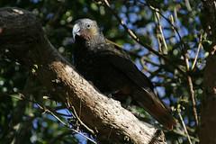 A bird in the bush... (Karen Pincott) Tags: kaka bird birds wellington newzealand zealandia birdsanctuary nature naturereserve bush urban
