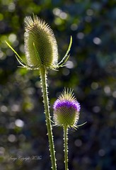'Dipsacus fullonum' (nondesigner59) Tags: dipsacusfullonum teasel flora nature wild flower bokeh copyrightmmee eos7dmkii nondesigner nd59