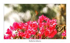 P8123039 (Roberto Silverio) Tags: colors colori butterfly olympuscamera zuikolens zuikodigital olympusphotography open giardino greece2016 grecia santorini bokeh fly red giallo yellow