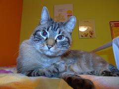 The eyes (Gianfranco.Marchetti) Tags: cat tigre tiger eyes eye occhi occhio beautiful nose naso zampe baffi baffo f4 44mm 125 iso400 flash sony dsch400 dsc h400 cybershot cyber shot 20mp 201mp baveno italy vco verbania