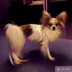 Molly, filtered (mimbrava) Tags: molly papillon dog prisma arr allrightsreserved mimeisenberg mimbrava mimbravastudio
