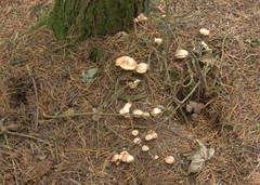 Eastern Moors fungi (arte2015) Tags: easternmoors fungi peakdistrict pinewoods