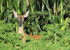 White-tailed Doe (Kelly Preheim) Tags: whitetailed deer