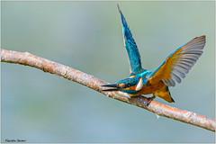 Martin pescatore (fausto.deseri) Tags: kingfisher alcedoatthis martinpescatore wildlife birds nature wild oasidicronovilla nikond7100 nikkorafs300mmf28dii nikontc17eii faustodeseri