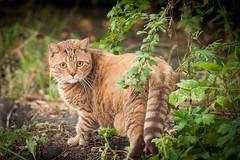 _DSC1057 (Tatiana777) Tags: cat catmoments кошка кот маруся семеныч семен сибирская