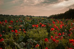 Cabbage & Poppies  (reykcols) Tags: nature landscape field poppies cabbage crops green red