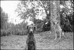 Max e Micha (Leandro C Rodrigues) Tags: film analogic bw filme analogico pretoebranco hp5 ilford canon ftb soligor dog cachorro dobermann blackandwhite monochrome outdoor animal pastor germanshepherd