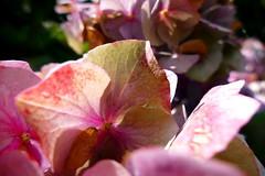 autumn is coming (nelescholten) Tags: light sunlight hydrangea hortensia macro nature summer dry autumn over