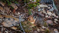 DSC_0082 (Adrian De Lisle) Tags: lakemoraine banffnationalpark banff pika wildlife