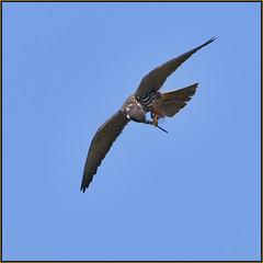 Hobby (image 3 of 3) (Full Moon Images) Tags: rspb sandy lodge thelodge wildlife nature reserve bedfordshire bird prey birdofprey flight flying hobby