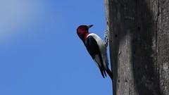 Red-headed Woodpecker - The Movie [EXPLORED] (RGL_Photography) Tags: birds colliersmillswildlifemanagementarea gardenstate jerseyshore melanerpeserythrocephalus mothernature nature nikonafs200500mmf56eedvr nikond500 nikontc14eiii ornithology redheadedwoodpecker wildlife woodpecker oceancounty wildlifephotography