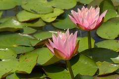 Pink Lily Duet (FagerstromFotos) Tags: flower flowers waterlilies lilies nature gardenpond watergarden pink green petals
