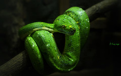 Green Python /  (bug eye :) Thailand) Tags: nature natural snake tropical oriental forest rainforest chiangmai thailand