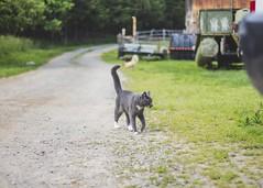 (sirrahpics) Tags: 50mm18 niftyfifty harmonyfarm sally cat graycat