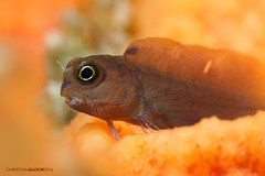 Dreamy (Christian Gloor (mostly) underwater photographer) Tags: blenny orange dreamy diving underwater lembeh indonesia sulawesi nauticam omd em5
