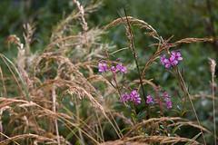 ckuchem-7639 (christine_kuchem) Tags: bienenweide blte epilobiumangustifolium garten naturgarten schmalblttrigesweidenrschen weidenrschen wildgarten wildpflanze naturnah rosa