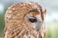 Introspective moment... (Glenn van Windt) Tags: strixaluco aves bird vogel birdofprey roofvogel raptor owl uil tawnyowl bosuil portrait nature natuur canonef300mmf28lisusm